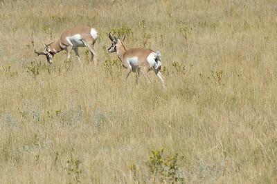 Pronghorn male custers in Black Hills, South Dakota