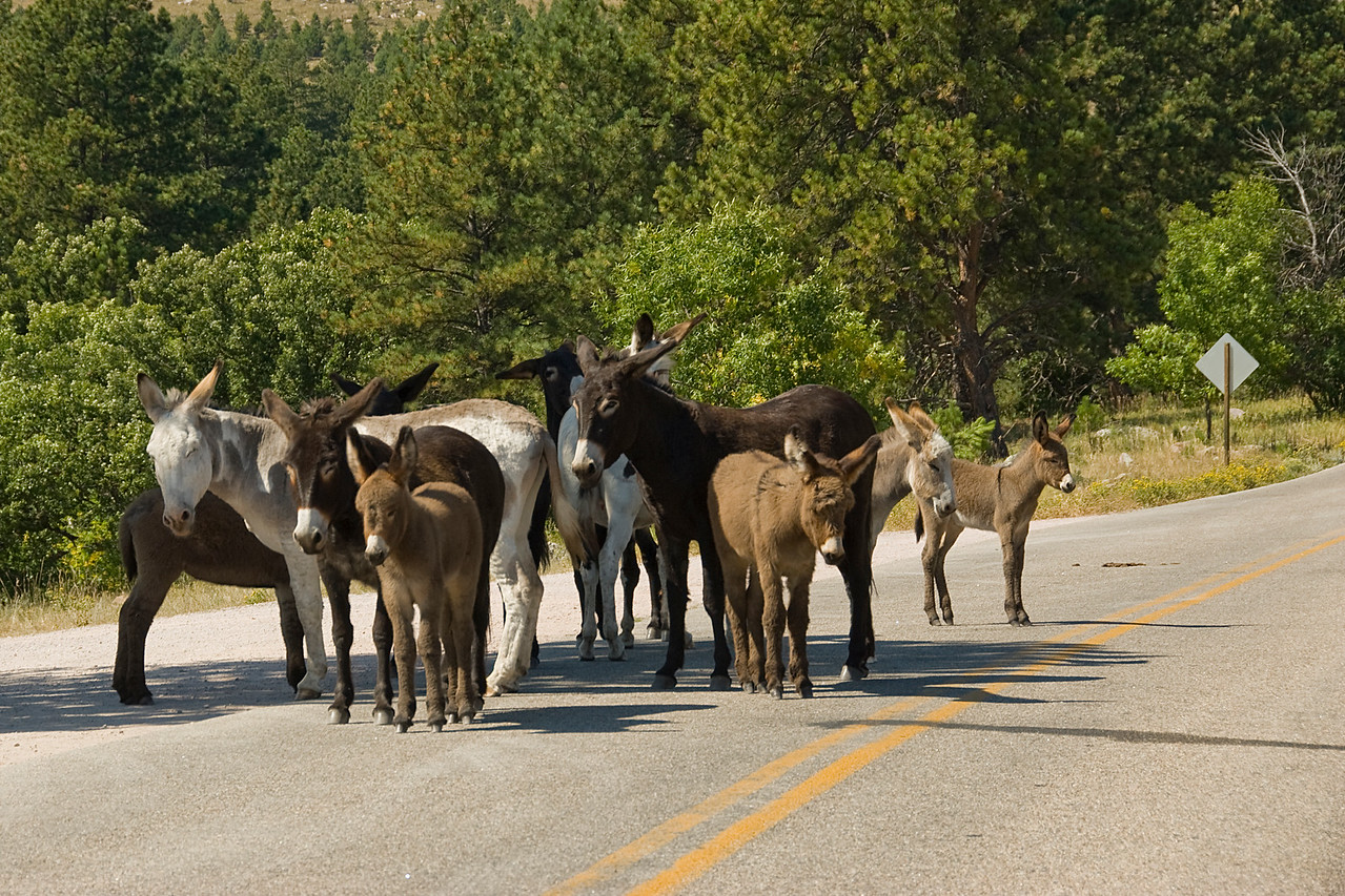Herd of donkeys in Black Hills, South Dakota
