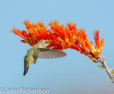Costa's Hummingbird female (Calypte costae) - Arizona-Sonora Desert Museum