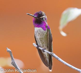 Costa's Hummingbird (Calypte costae) - Arizona-Sonora Desert Museum