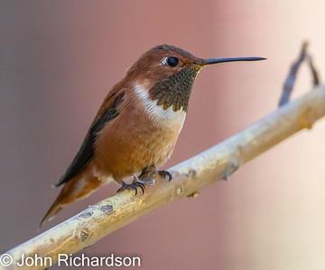 Rufous Hummingbird (Selasphorus rufus) - Arizona-Sonora Desert Museum
