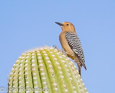 Gila Woodpecker (Melanerpes uropygialis) - Cat Mountain area