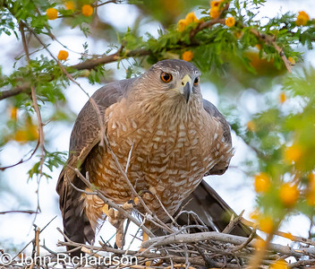 Cooper's Hawk (Accipiter cooperii) - Cat Mountain area