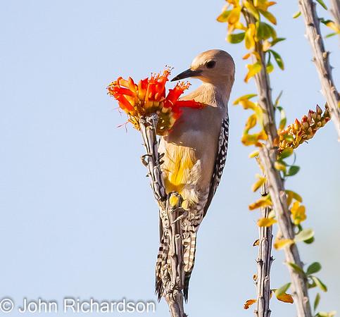 Gila Woodpecker female(Melanerpes uropygialis) - Arizona-Sonora Desert Museum