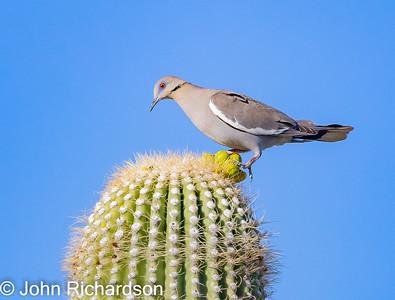 White-winged Dove (Zenaida asiatica) - Cat Mountain area