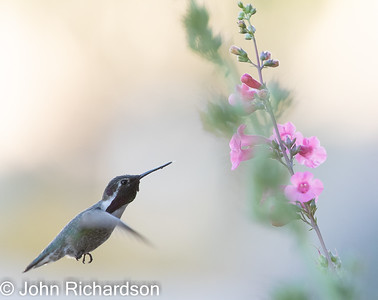 Costa's Hummingbird (Calypte costae) - Cat Mountain area