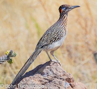 Greater Roadrunner (Geococcyx californianus) - Ash Canyon