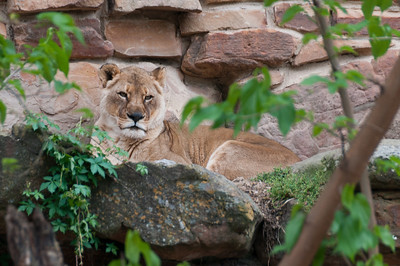 Female lion in Fort Worth Zoo in Texas