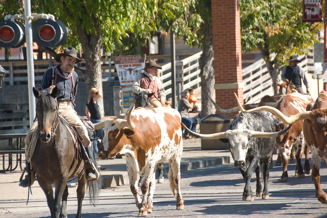 Longhorn cattle drive at the Fort Worth, Texas Stockyards