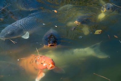 Koi fishes in a pond in Botanical Garden, Fort Worth, Texas