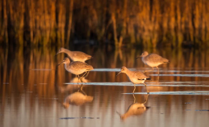 Willets On The Move