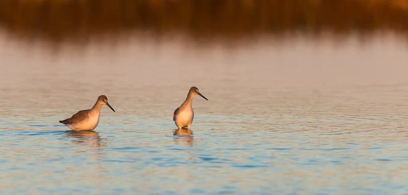 Willets Watching