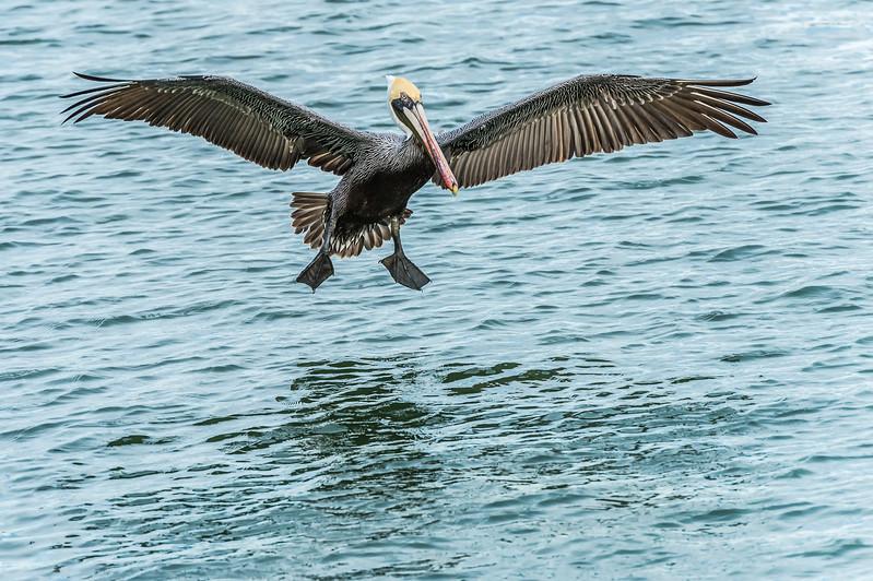 Brown Pelican On Final Approach