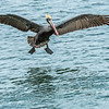 Brown Pelican On Final Approach