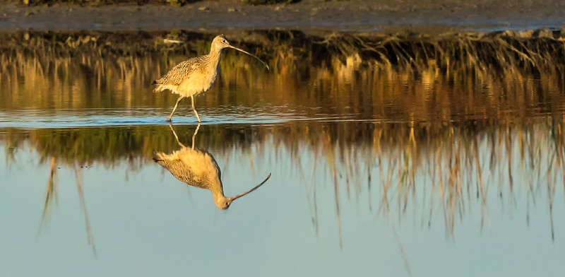 Curlew Reflection