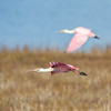 A roseate spoonbill (platalea ajaja) in flight at Aransas National Wildlife Refuge