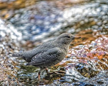 Dippers are normally shy river birds, but here they were feasting on fresh salmon eggs and all caution was thrown to the winds.  They too would approach quite closely.  This one jumped on top of my boot and started up the leg of my pants.
