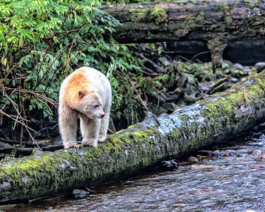 The spirit bear was the main point of this expedition.  Despite the bear being white it is an autosomal recessive variant so both parents may have been typical appearing black bears.  The variant is found on only a few islands off the coast of British Columbia and there are very few of them to be seen.  No exact census has been done