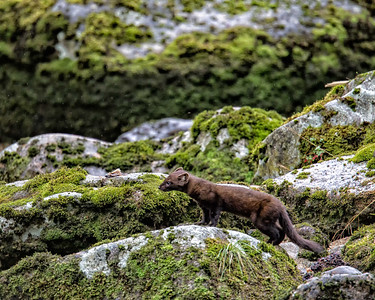 The pine martin was happy to frequent the area looking for scraps.  We were told they were quite shy and I was happy to get this shot with a telephoto lens