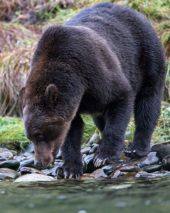 The coastal grizzlies were quite happy eating salmon, but to my surprise these were feasting mostly on the dead fish scattered over the river bottom rather than catching the many live salmon swimming by.