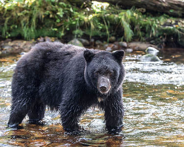 This is one of the typical black bears.  Since the spirit bear is simply a genetic variant they occur together with the black bears and can be seen together
