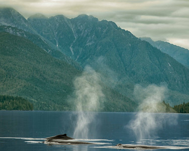 Humpback whales were everywhere to be seen often in pods as this group of three ilustrates