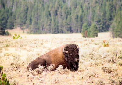 Lone Bison, Yellowstone National Park