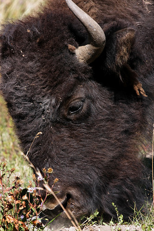 Bison, Hayden Valley