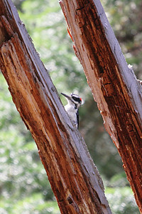 Hairy Woodpecker, Grand Tetons