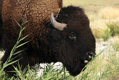 Bison, Great Salt Lake