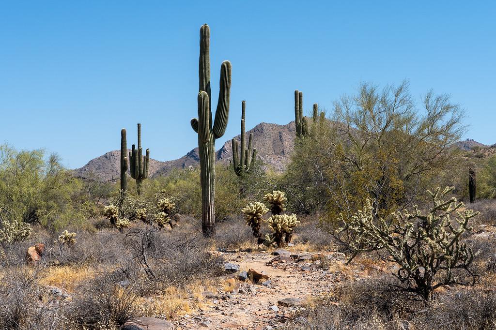 Saguaro cacti at McDowell Sonoran Preserve
