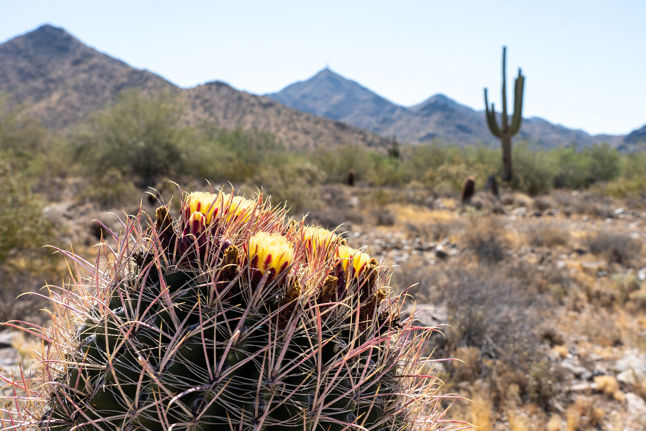 Flowering cactus in the desert