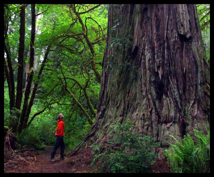 John eyes this giant redwood in Redwood National Park, California.