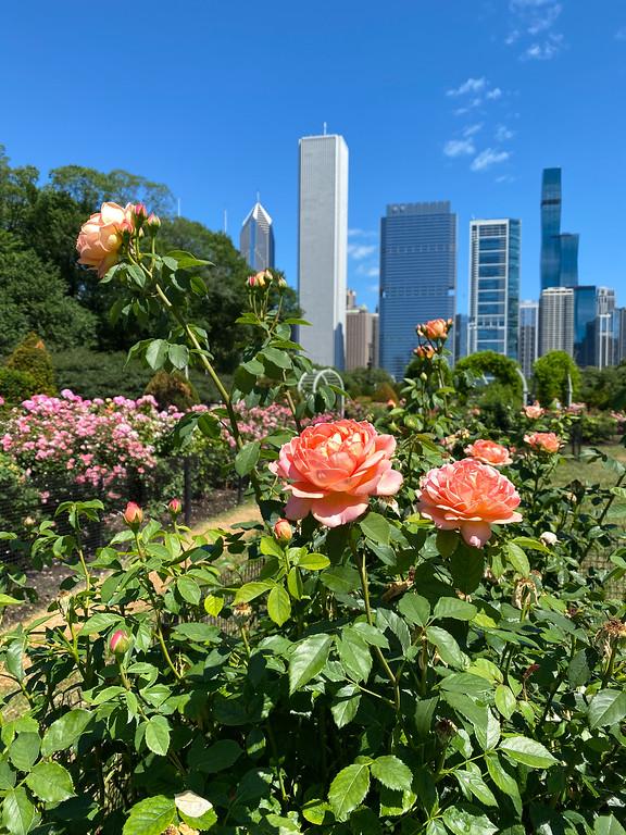 Chicago rose garden