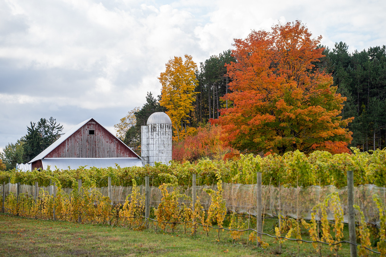 Vineyard and an old barn in Michigan