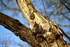 Grey Squirrel, Central Park, Manhattan, New York, U.S.A.