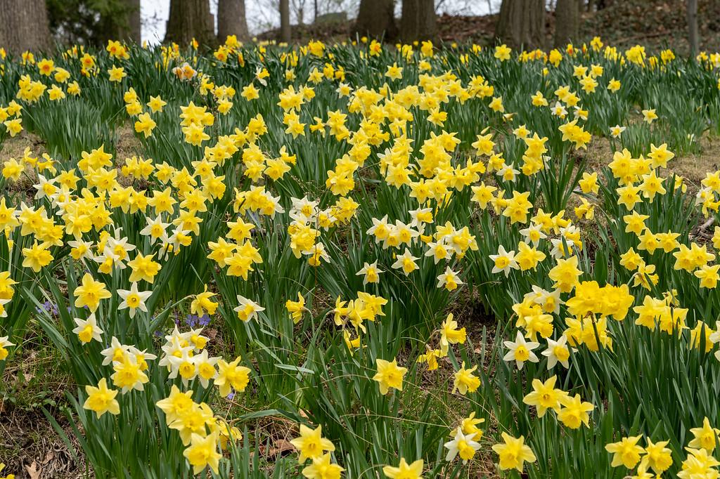 Daffodil Hill in Cleveland