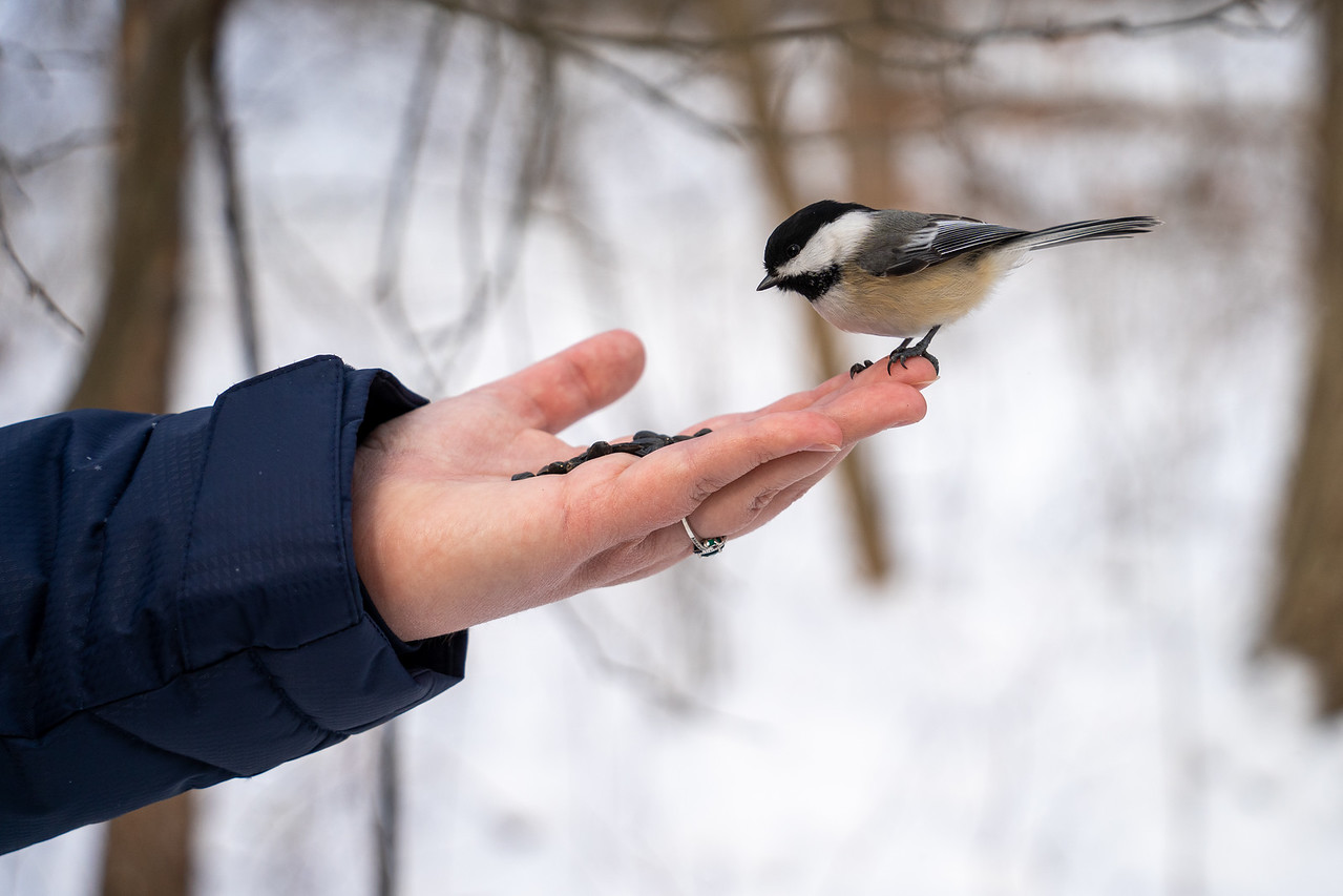 Hand-feeding a chickadee at Brecksville Nature Center