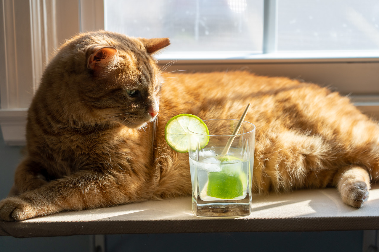 Cat with a cocktail