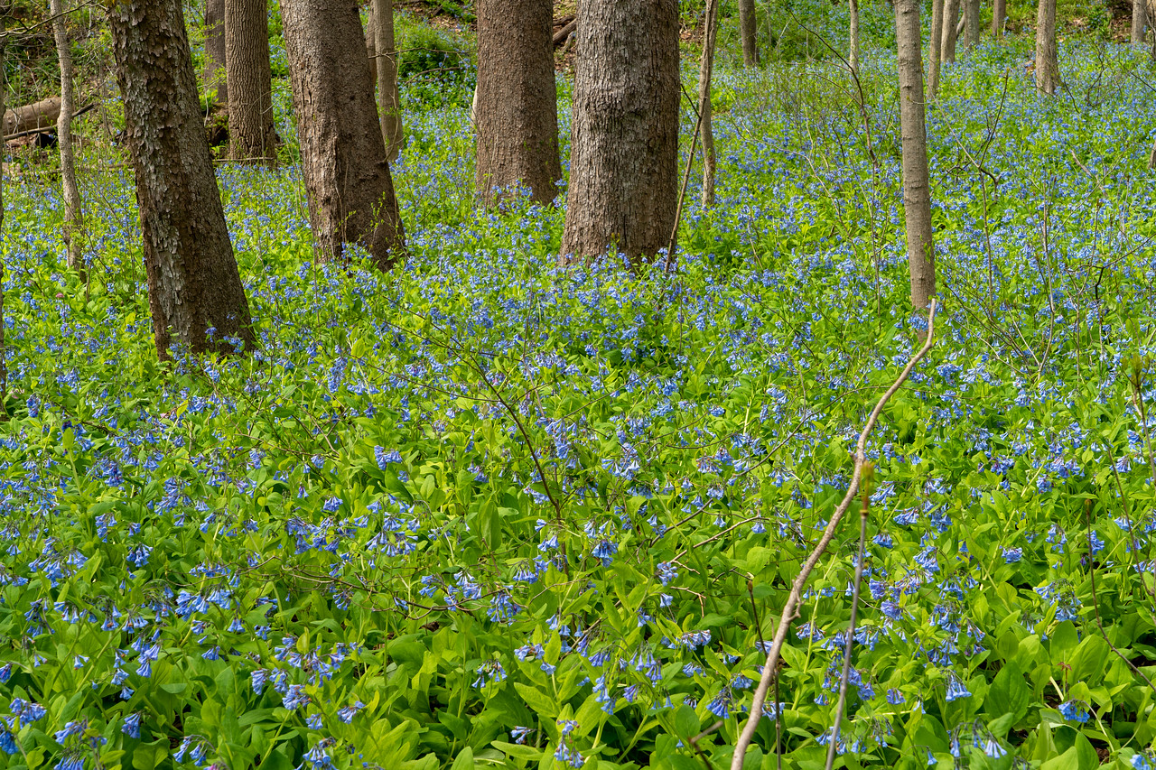 Virginia Bluebells at Bedford Reservation