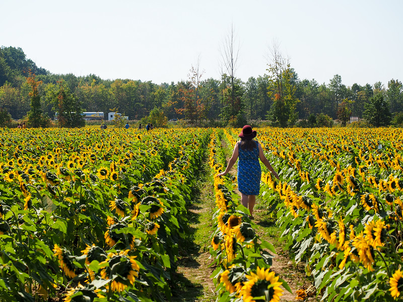Walking through Prayers for Maria sunflower field