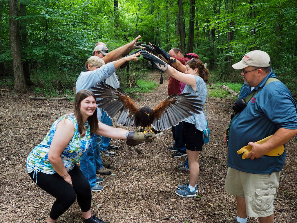 Flying a Harris Hawk with Ohio School of Falconry