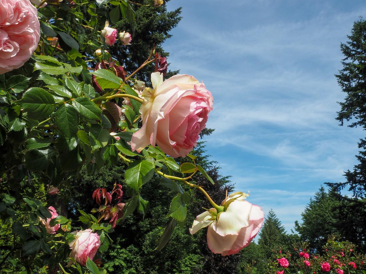 International Rose Test Garden in Portland