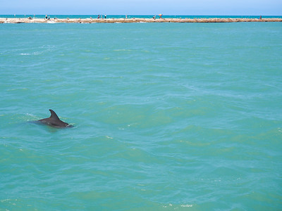 Dolphin in the Laguna Madre