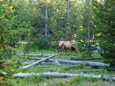 Elk in Yellowstone National Park