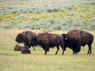 Bison in Lamar Valley in Yellowstone National Park