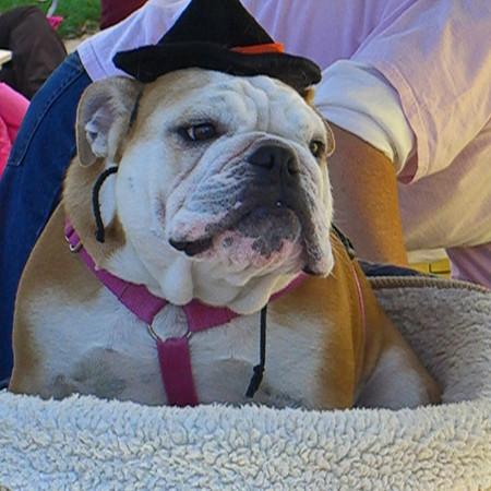 Bulldog - Clifton Days, Virginia