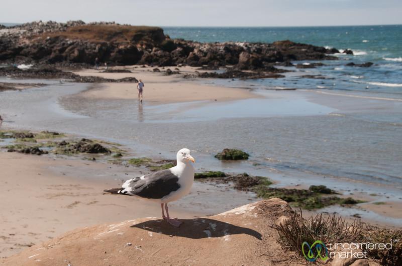Seagull along the California Coast