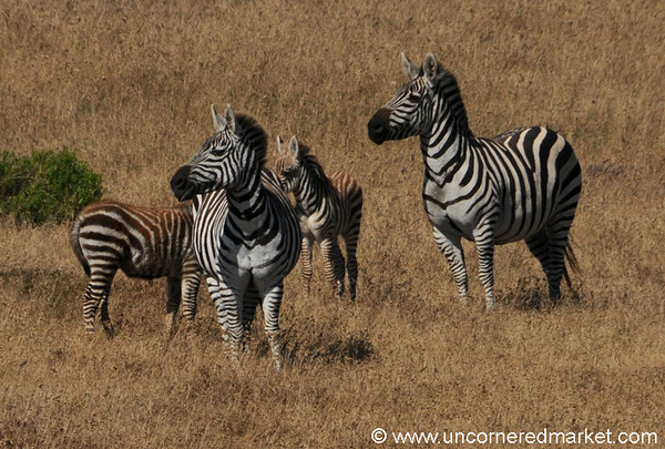 Zebra Family Along California's Coast