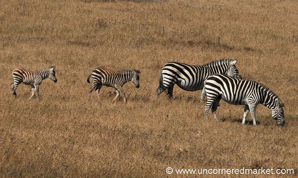 Zebra Mothers and Babies